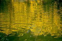 Tickseed, Bidens species, flowers reflected in water create a golden illusion