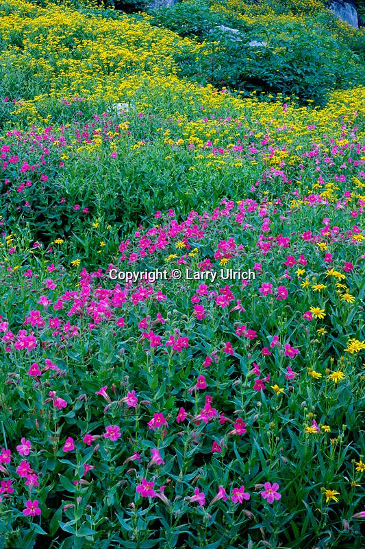 Lewis' monkeyfloer and seep spring arnica<br /> Kerr Valley<br /> Crater Lake National Park<br /> Cascade Range,  Oregon