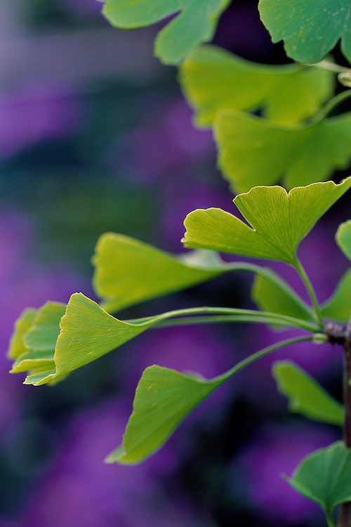 Close-up of leaves of Ginkgo biloba, Maidenhair Tree, with purple clematis in background, Vancouver, BC.