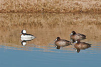 Bufflehead and Scaups, Inks Dam Fish Hatchery