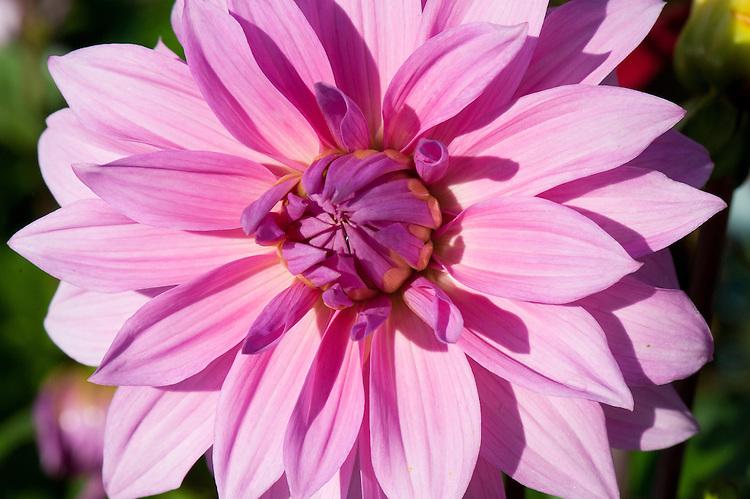 Dahlia 'Babylon Rose', late September.