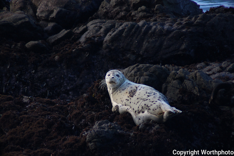 A young harbor seal soaks up sunshine on the rocks off Bean Hollow State Beach, California