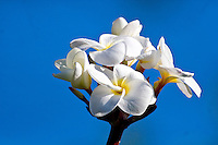 Bunch of white plumeria against a blue sky. (Frangipani, Pua melia)
