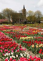 Hortus Bulborum in Limmen.  In de tuin staan meer dan 4000 soorten. De hortus, waarin voornamelijk tulpen staan, is in 1928 opgericht. Op de achtergrond de Protestantse kerk van Limmen