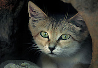 613401001 a sand cat felis margarita looks out from its home burrow in an enclosure in the sonora desert museum in arizona species is native to the deserts of northern africa and eastern and central asia and is endangered in the wild