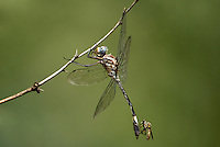 339830005 a wild male pale-faced clubskimmer brechmorhaga mendax perches a mesquite tree branch with a small bee fly attached to its abdomen along eagle creek greenlee county arizona