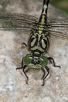 Kleine Zangenlibelle, Zangen-Libelle, Onychogomphus forcipatus, Small Pincertail