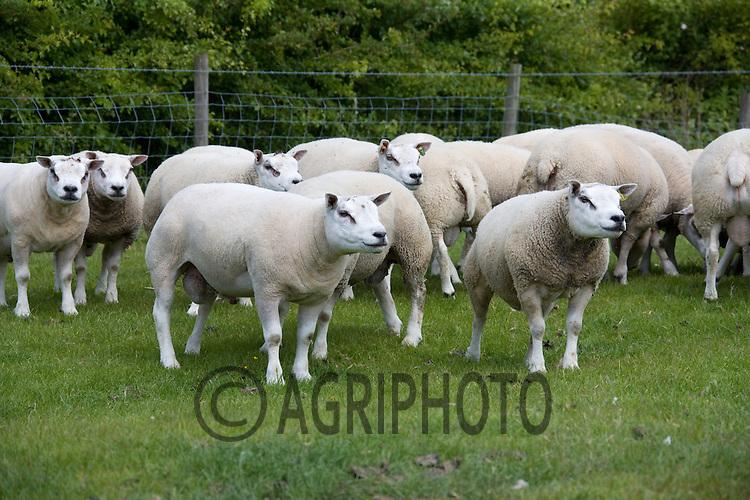 Beltex Ewes<br /> Picture Tim Scrivener 07850 303986