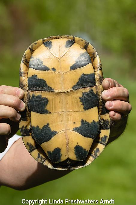 Blanding's turtle - shell bottom