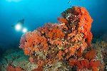 Colourful reefs in Raja Ampat covered in orange Dendronephthya soft corals, West Papua, Indonesia