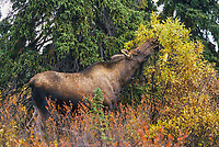 Cow moose browses on willow leaves in boreal forest, Denali National Park, Alaska.