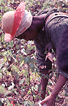 Woman picking cotton on Minnie Guise farm outside Montgomery Ala in photo taken by Jim Pepplerin September, 1966. Copyright Jim Peppler/1966. This and over 10,000 other images are part of the Jim Peppler Collection at The Alabama Department of Archives and History:  http://digital.archives.alabama.gov/cdm4/peppler.php