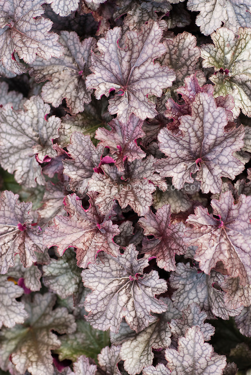 Heuchera Plum Puddin shade foliage plant in silver and purple tones
