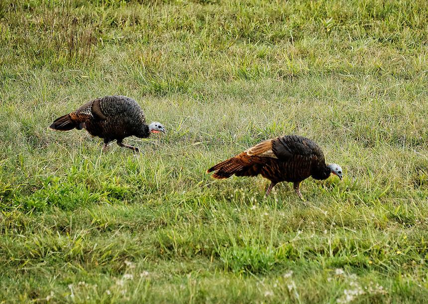 Wild turkey hens feeding in a grass field, Massachusetts, USA