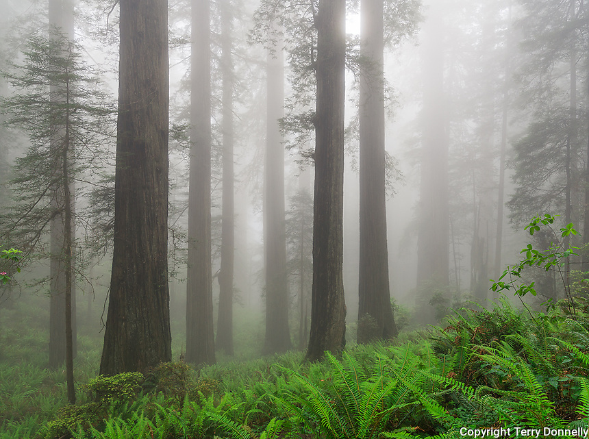Redwoods National Park, California:<br /> Redwood (Sequoia sempervirens) trees in fog on the Damnation Creek Trail