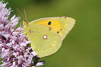 Clouded Yellow Colias crocea Wingspan 50mm. A fast-flying migrant visitor to Britain, from mainland Europe. Adult has dark-bordered upperwings that are rich orange-yellow in male, pale yellow in female. Both sexes have yellow underwings with a few dark markings. Larva is green with pale yellow lateral line; feeds on Lucerne and other members of the pea family. A summer visitor to Britain, seen mainly in coastal areas; generally scarce but common in some years.