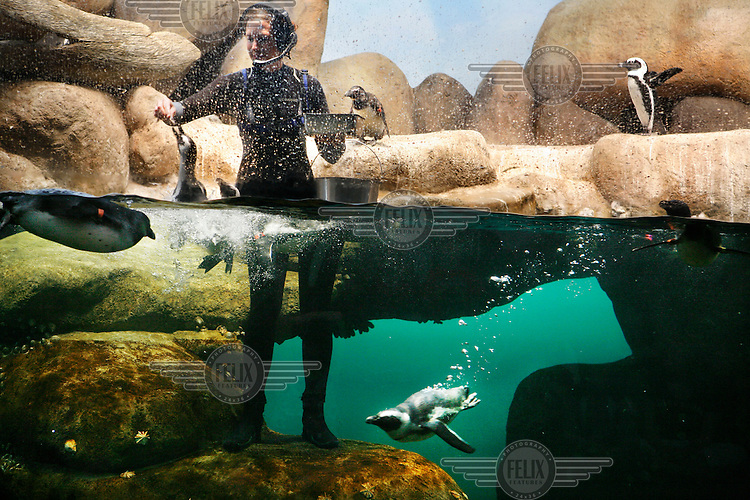 An employee feeds penguins at the California Academy of Science, San Francisco, California.