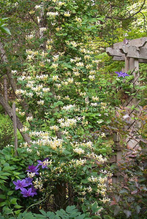 Image result for Honeysuckle trellis