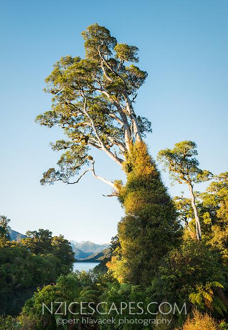 Native forest with kahikatea at Lake Moeraki, South Westland, Landsbourough, West Coast, UNESCO World Heritage Area,, New Zealand, NZ