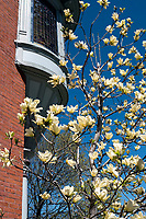 Magnolia, or tulip tree at Lawrence House and Germain Park. Cherry blossoms and dandelion on Wellington Street at Murphy Road