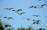 Kanadagans, Trupp, Schwarm im Flug, Flugbild, fliegend, Kanada-Gans, Gans, Branta canadensis, Canada goose