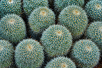 Close up of Mammillaria cactus. Moorten Botanical Garden
