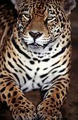 """Amazon, Brazil. Jaguar - """"Onca pintada""""; Panthera onca."""