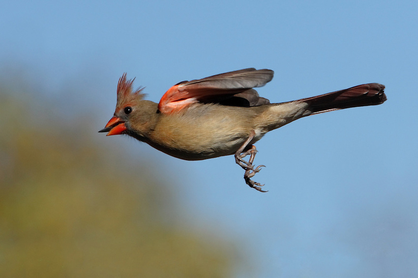 Cardinal female bearing seed..