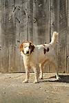Farm dog by barn door.