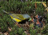 WB03-019z  Nashville Warbler - adult feeding young in nest - Vermivora ruficapilla