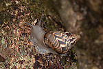 Land Sail, Orthalicus principes Broderip, Panama, Central America, Gamboa Reserve, Parque Nacional Soberania, climbing up tree, brown patterned shell