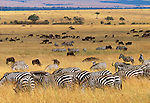 Grant't zebras  and wildebeests feeding in tall grass, Masai Mara National Reserve, Kenya
