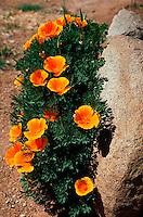 A California Poppy - popular in xeriscape gardening.