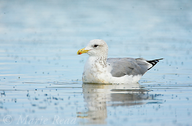 California Gulls (Larus californicus), non-breeding plumage, swimming amid Alkali Flies on water's surface, October, Mono Lake, California, USA