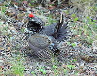 Male spruce grouse, taiga type, displaying