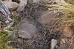 Camouflaged foot hold traps used for catching and collaring Andean cats, Abra Granada, Andes, northwestern Argentina