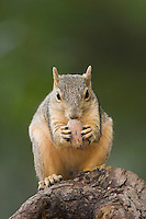 Eastern Fox Squirrel, Sciurus niger, adult on tree eating Pecan Nut, Uvalde County, Hill Country, Texas, USA, April 2006