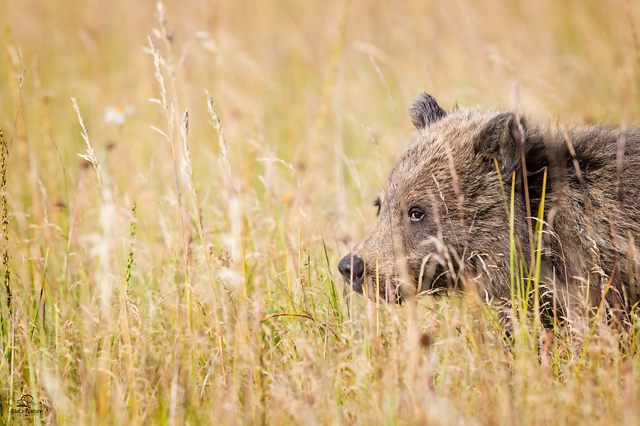 Brown Bear spring cub watching us carefully from the safety of the autumn grass.  When these cubs are first introduced to the meadow, typically in mid-June, the grass is their refuge. It shields them from the unfriendly eyes of male bears, who will sometimes kill small cubs in order to mate with the mother.  Apparently the female cannot come into heat, and mate, while she's producing milk for the cubs.