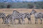 Common zebras in East Africa