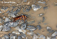 0113-0908  American Cockroach Preparing to Drink from Mud Puddle, Periplaneta americana  © David Kuhn/Dwight Kuhn Photography.