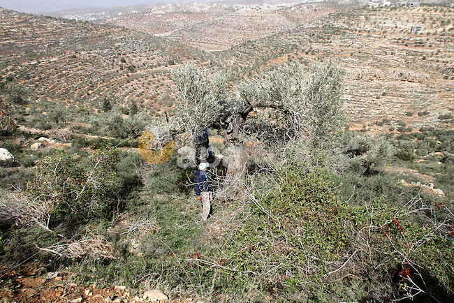 Palestinian farmers inspect olive trees destroyed by Israeli settlers from the nearby settlement Eileh, in the West Bank village of Talfit, southern Nablus, March 05, 2014. Palestinian farmers on Wednesday detained an Israeli settler after they caught him chopping down olive trees in their fields in the northern West Bank, an official said. Photo by Nedal Eshtayah