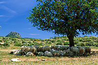 Italy, Sardinia, Nationalpark Gennargentu-Golfo di Orosei: flock of sheep in the shade of a tree