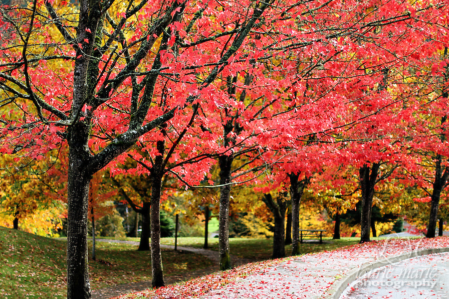 Row of maple trees turned red for fall.