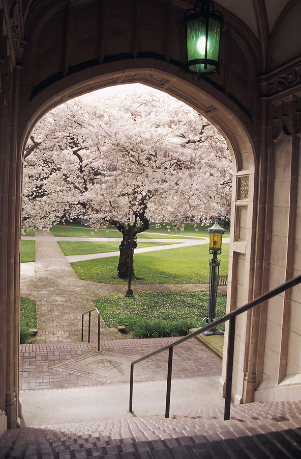University of Washington Liberal Arts Quadrangle with blooming cherry trees framed by arched stairway, Seattle, Washington