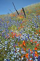 Fence and Wildflowers near Gorman, California