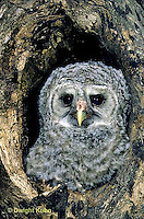 OW01-111e  Barred Owl - young in nest caviity - Strix varia.