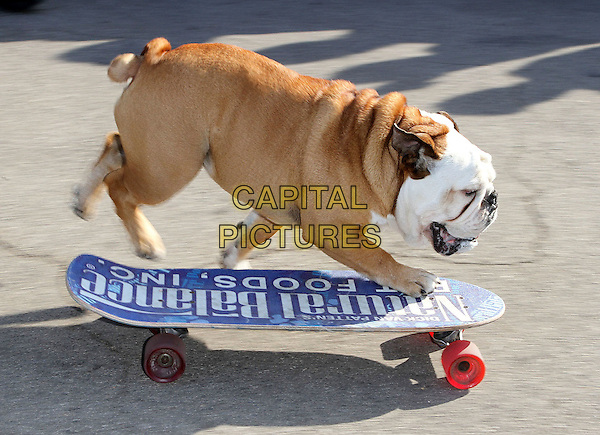 TILLMAN the Skating Bulldog.2nd Annual Bark In The Park held At Dodgers' Stadium,  Los Angeles, California, USA, 28th May 2011..dog animal funny trick pet skateboard on  riding clever trained .CAP/ADM/KB.©Kevan Brooks/AdMedia/Capital Pictures.