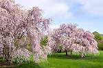 Sargeant cherry trees at the Arnold Arboretum, Boston, Massachusetts, USA