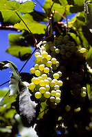 Ripe Gewurtztraminer Grapes hanging on Vine, South Okanagan Valley, BC, British Columbia, Canada