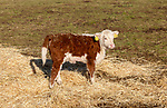 Young male Hereford calf standing in field in winter, Boyton, Suffolk, England, UK
